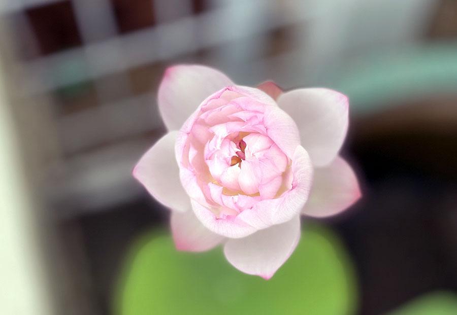 庭に咲いた睡蓮